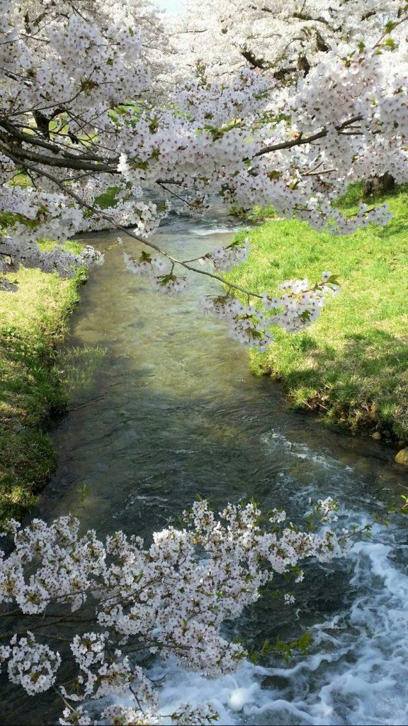 会津 観音寺川の桜並木
